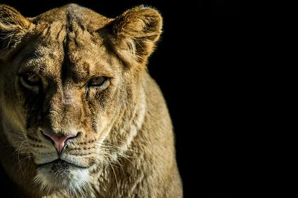 Dollarphotoclub_71987884_(lion-VulnerabilityWP_for_Post)